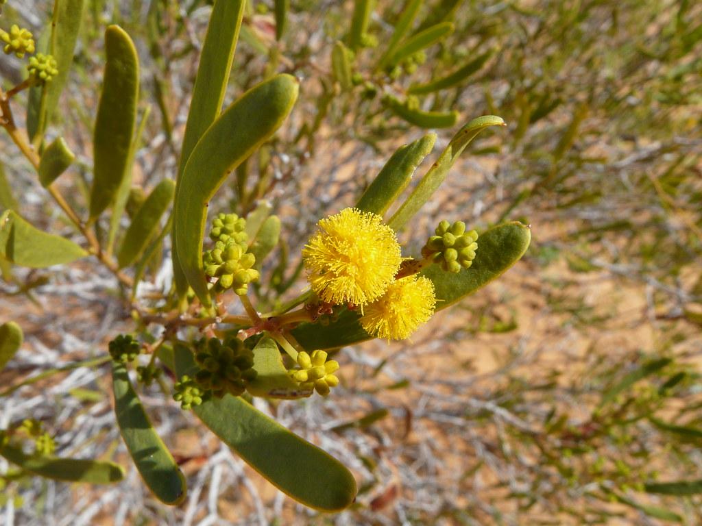 umbrella bush acacia lingulata simpson desert flora paul campbell flickr. Black Bedroom Furniture Sets. Home Design Ideas