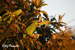 Lilac-crowned Amazon Parrot (Amazona finschi)