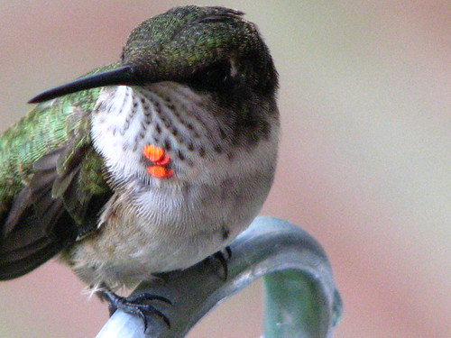 hummingbird with gorget that bit of