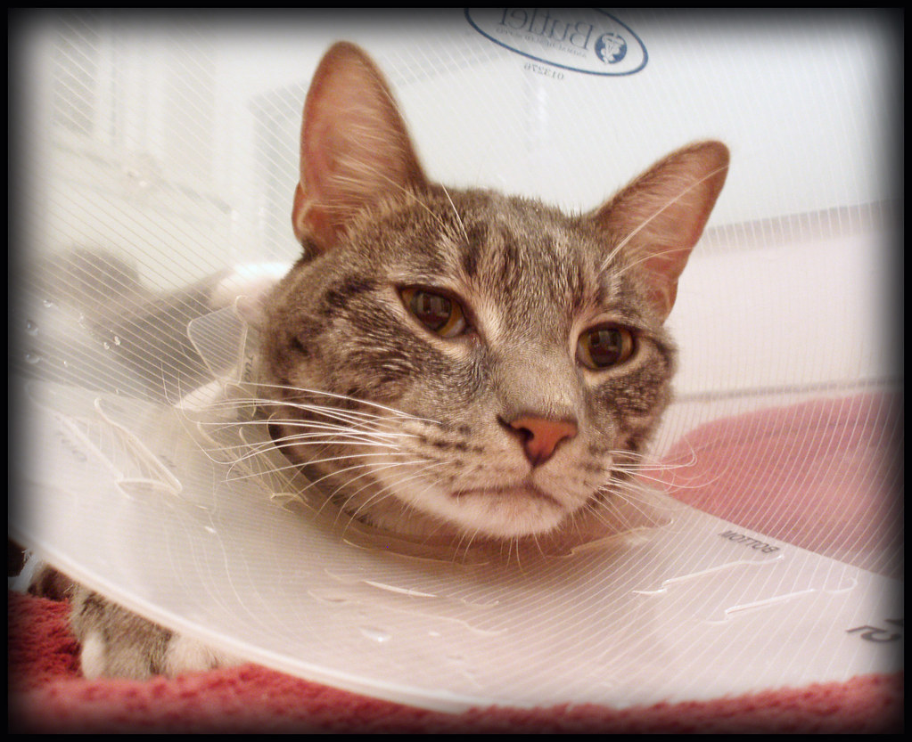 unhappy cat | First day home after surgery to correct ...