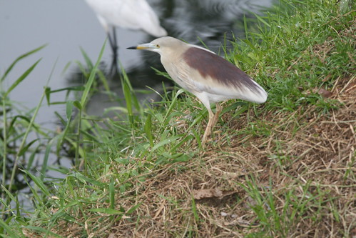 Ardeola grayii (Indian Pond Heron) | by Arthur Chapman