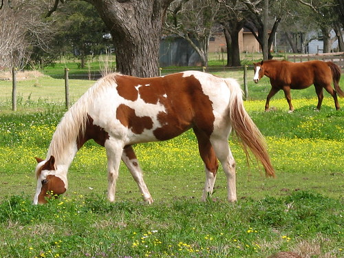 Pinto Horse Pictures Pinto Horse Flickr Photo