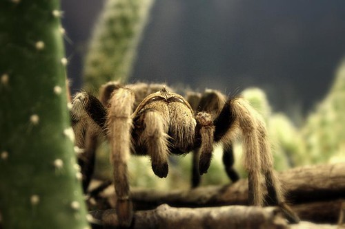 Tarantula | by christopher.woo
