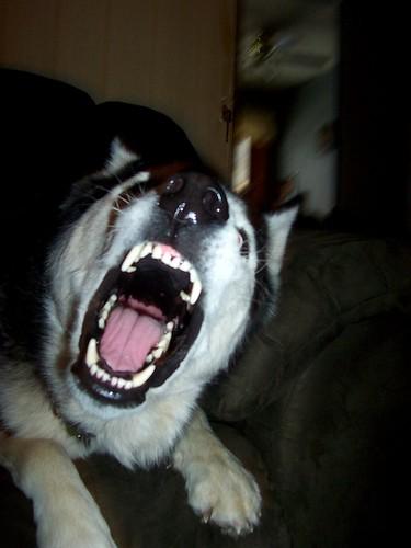 angry husky puppy - photo #21