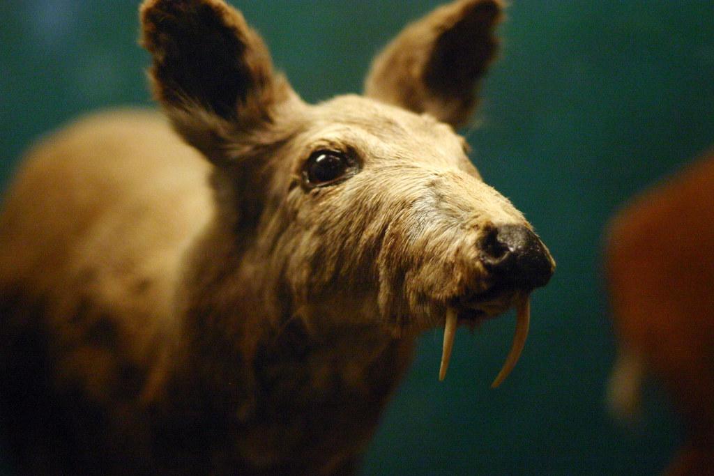 Musk Musk Deer Musk Deer | by Dan Coulter