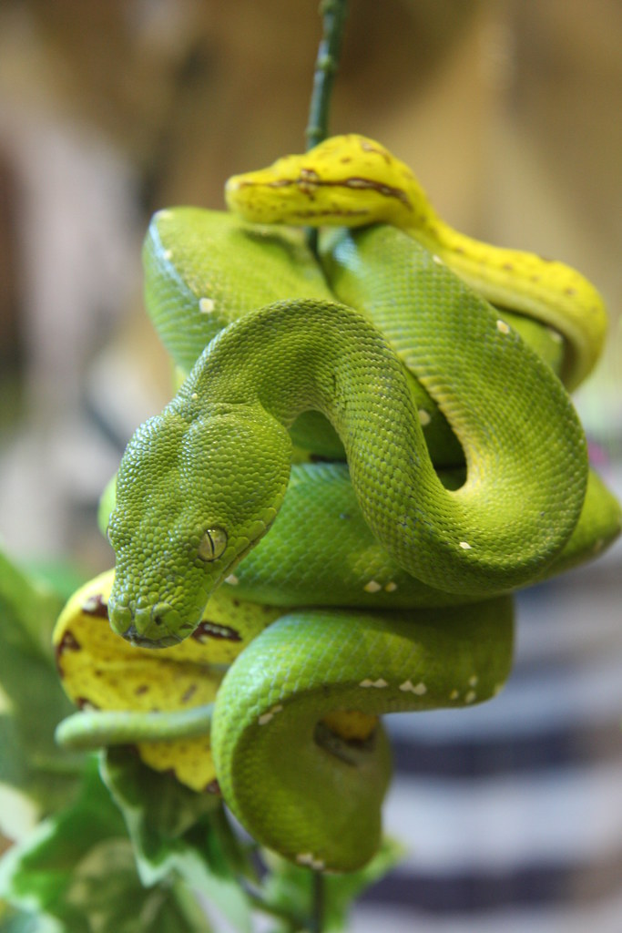 Green Tree Python  A Green Adult And Yellow Juvenile For -5536