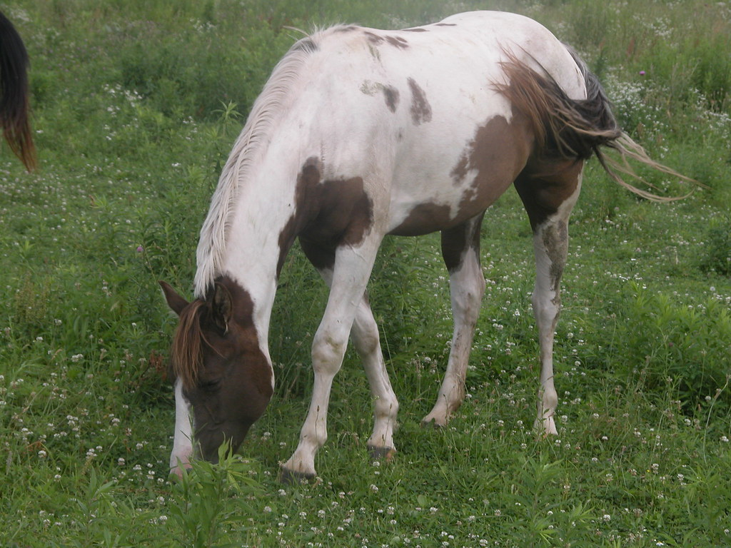 Brown and White Paint Horse Grazing | energizerbunny1017 ...