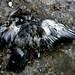 a pigeons death