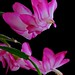 A confused schlumbergera truncata