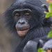 Young Bonobo (Pygmy Chimp)