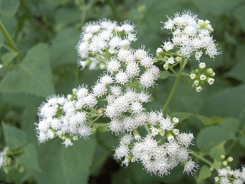 Image result for snakeroot plant