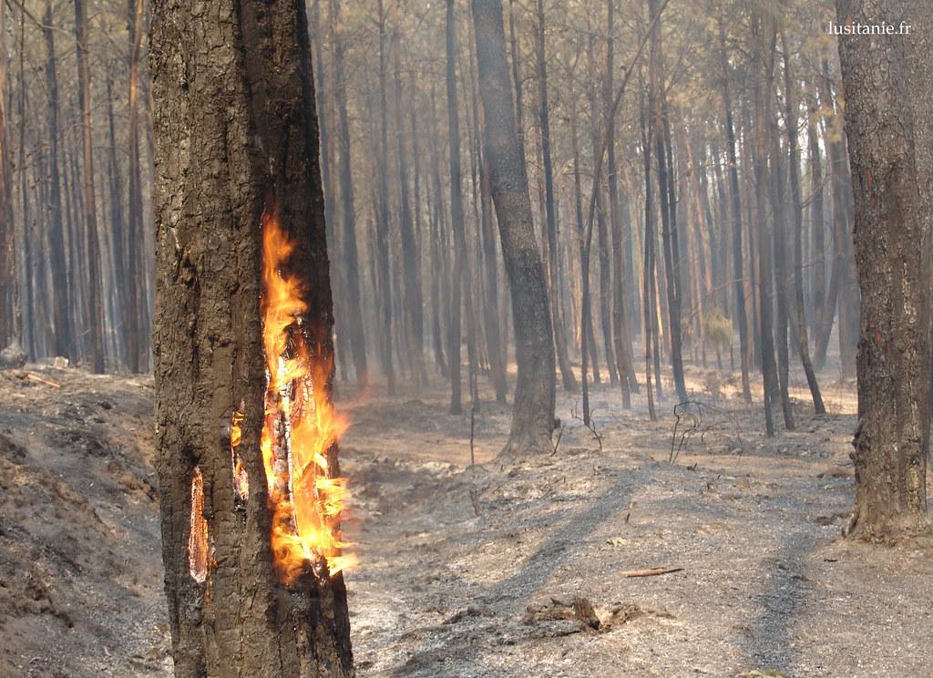 Un arbre qui brûle : cest de l'intérieur que le feu consume le pin