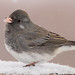 Dark-Eyed Junco - Slate Colored18
