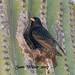 Nesting European Starling! ( Adult )