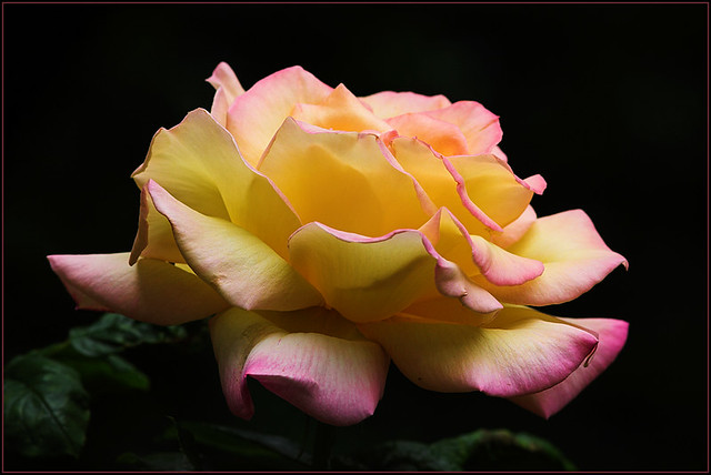 rose season has begun gloria dei in our garden fra flickr. Black Bedroom Furniture Sets. Home Design Ideas