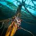 crab on kelp 7160