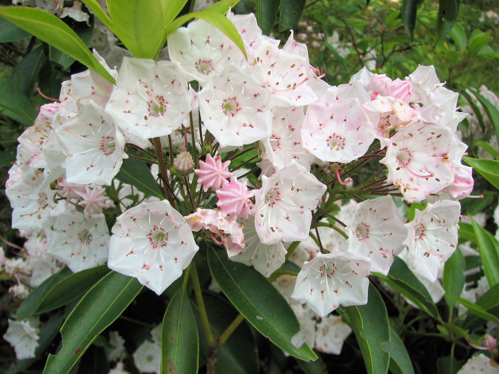 Mountain Laurel in Bloom Pennsylvania State Flower The Mou…