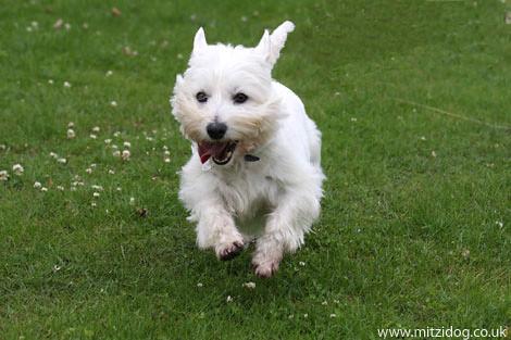 Westie Dogs For Sale Wales