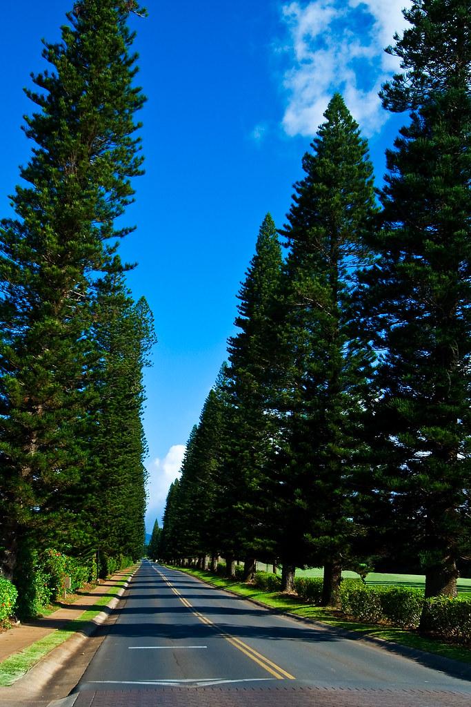 Kapalua Plantation Entrance Trees This Photo Was Taken