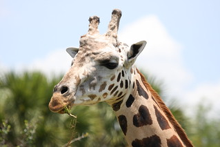 Giraffe with Heart shape on Neck | by doggiedoc@tcah.com
