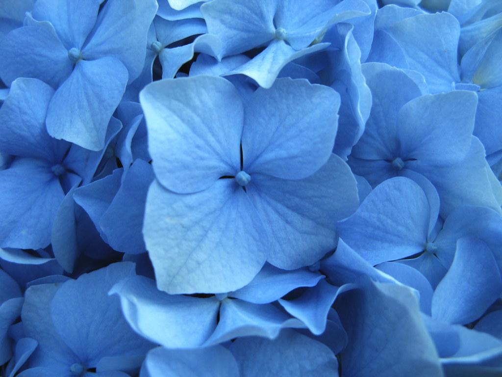 All Sizes Hortensia Azul Flickr Photo Sharing - Color-hortensia