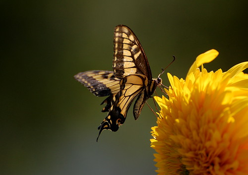Butterfly on Sunflower | by honey 77