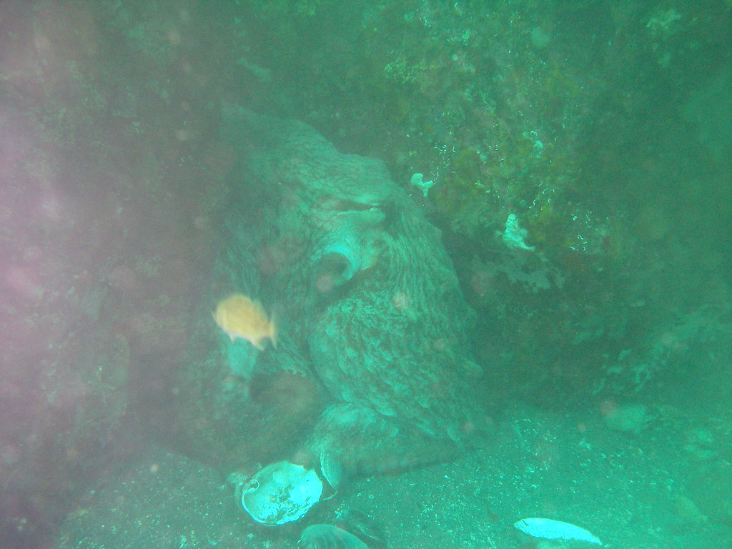 Giant Pacific Octopus   Eating clams.   Julie Diver ... - photo#4