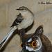 Northern Mockingbird ( Adult )