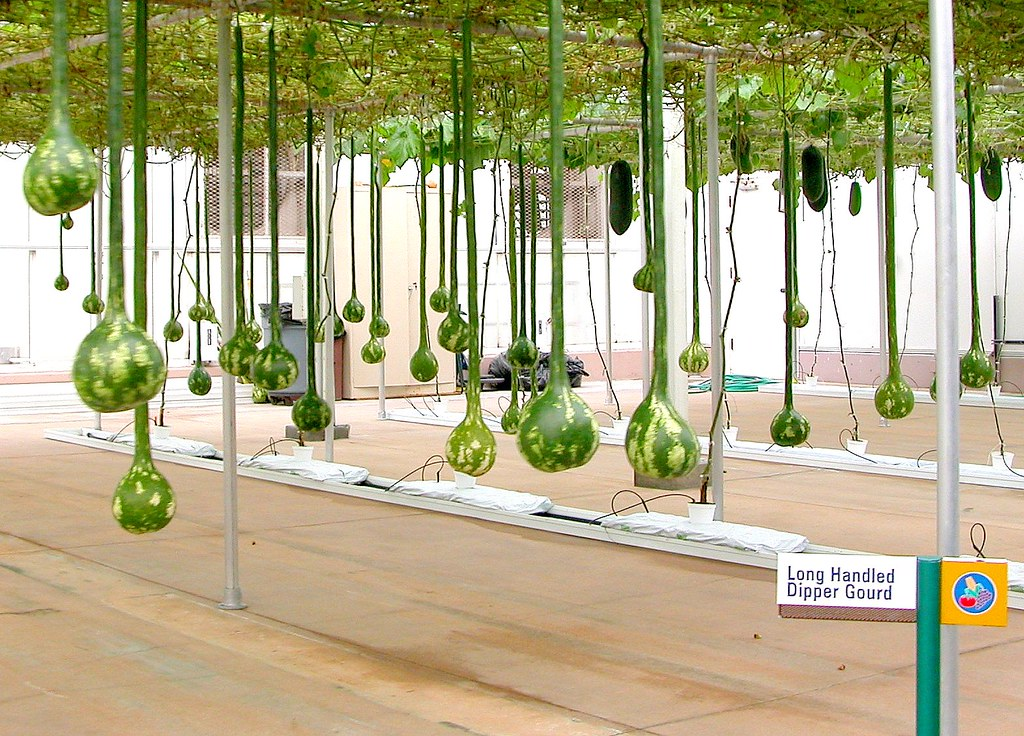 Long Handle Dipper Gourd | Jung Garden and Flower Seed Company