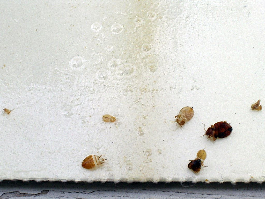 What does a dead bed bug look like