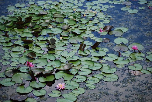waterlilies | by I Should Be Folding Laundry