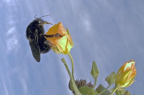 Black Bumble Bee >> BLACK BUMBLE BEES ~ Original= (1845 x 1220) .......... (Bo ...