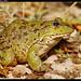 ضفدع كبير - Big frog