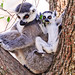 Mother lemur and her baby