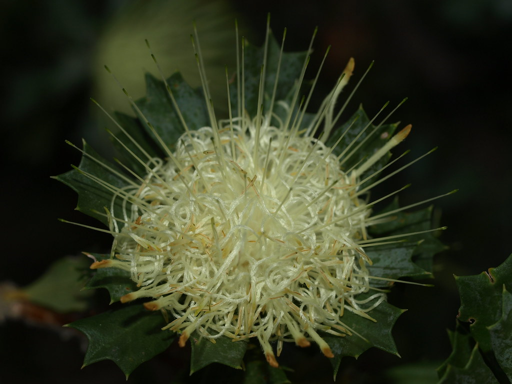 Banksia sessilis flower
