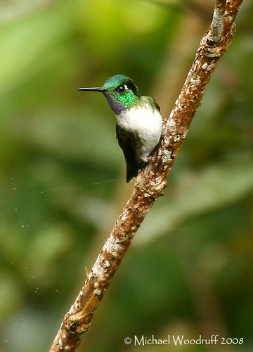 White-bellied Mountain-Gem | by Michael Woodruff
