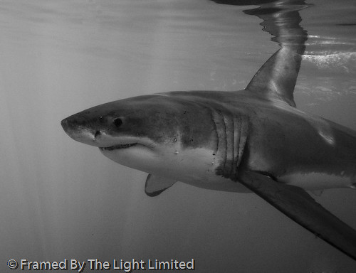Great white shark great white shark dyer island south for Picture great