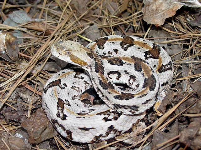 Crotalus horridus | North Carolina piedmont | Pierson Hill ...