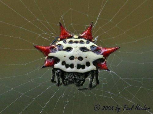 Spinybacked Orbweaver - Gasteracantha cancriformis | Flickr