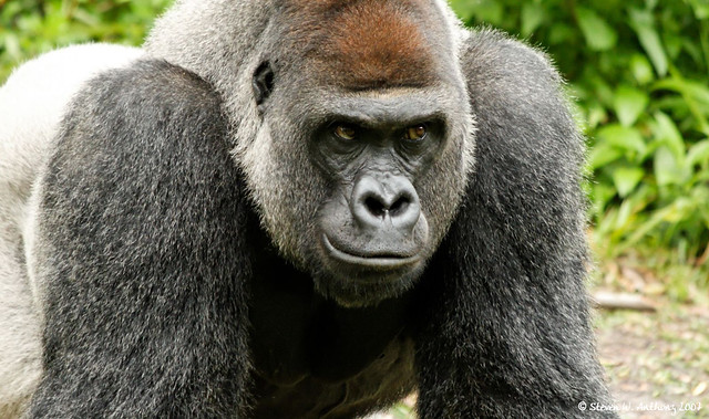Silverback Gorilla - Disney's Animal Kingdom