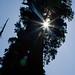 Sun behing General Grant Tree