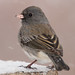 Dark-Eyed Junco - Slate Colored16