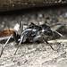 Ant IV (Carpenter??)