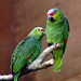 A Pair of Ecuadorian Amazon Red-Lored  Parrots