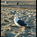 Salty the Seagull, California