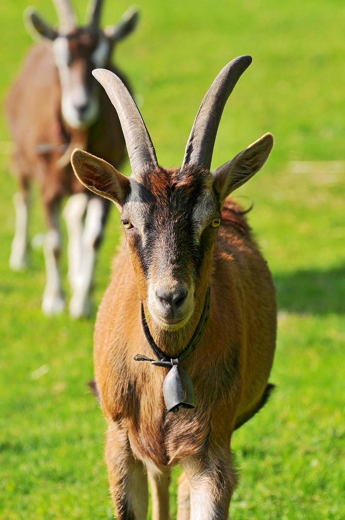 R Goats Goats walking t...