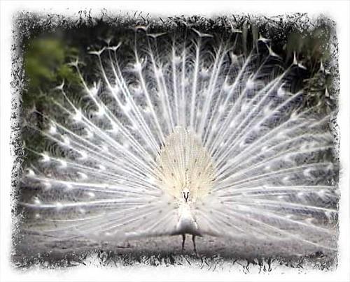 White Peacocks Rare Rare White Peacock