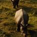 Chitwan National Park - rhinocerouseseseses