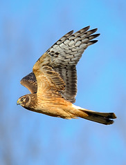 Northern Harrier | by William Jobes
