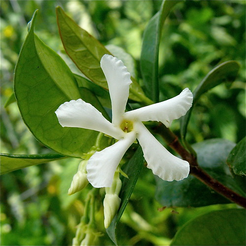 Jasmine | by .Larry Page